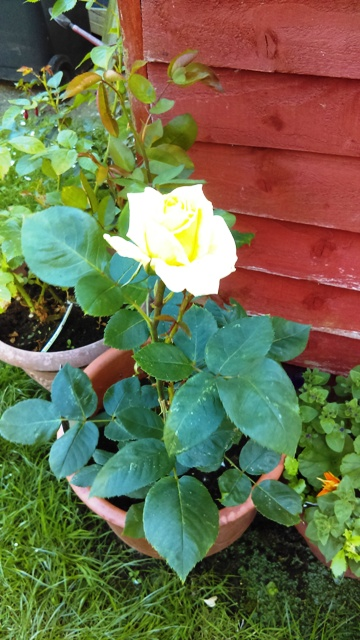 KSC-Mum's First Rose